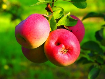 apple-693983_1920
